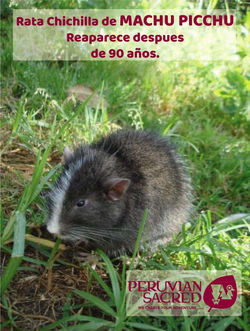 Rata Chichilla